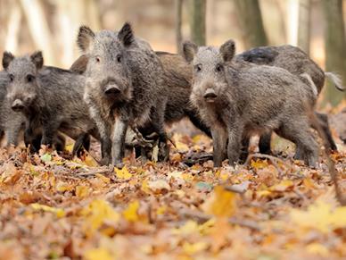Dziki znów zaatakowały w Lesie Kabackim